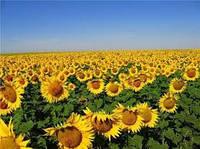 Семена подсолнечника ВНИС Солнечное настроение.
