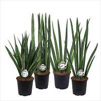Сансевиерия цилиндрическая Микс (Sansevieria Cylindrica Mix)