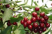 Саженцы Чудо  вишни(ранняя), фото 1