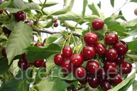 Саженцы Чудо  вишни(ранняя)