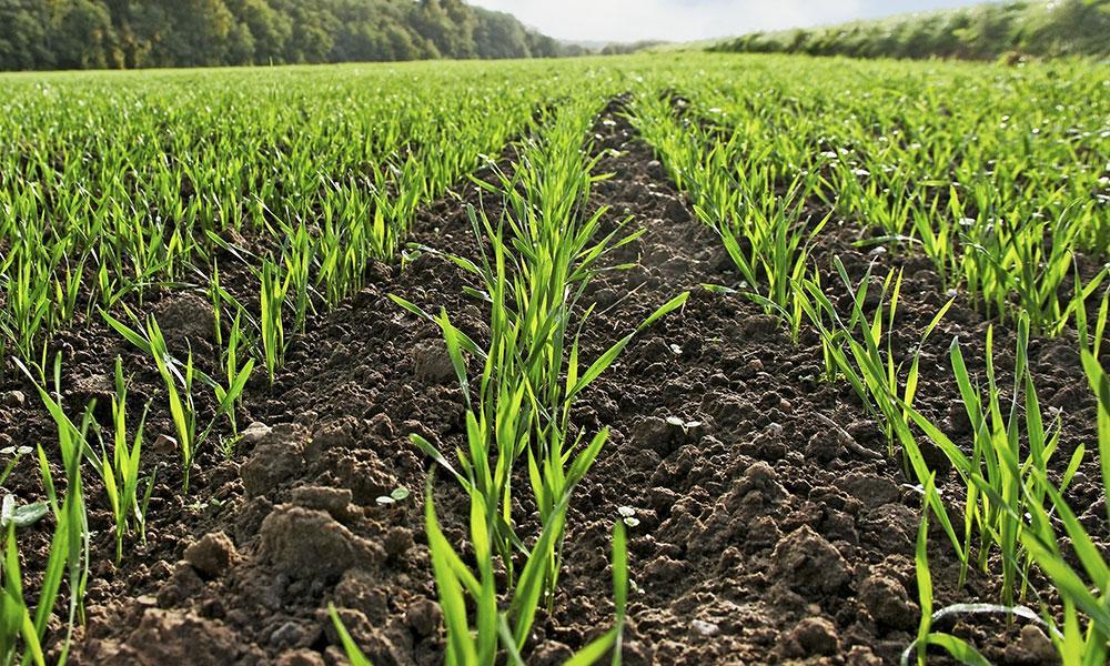Чому жовтіє пшениця