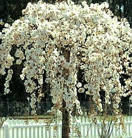 Саджанці вишні (сакура) на штамбі Pendula (штамб Н 1,5 - 2,0 м), фото 1