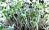 КАПУСТА Микрозелень, семена капусты органические для проращивания 50 грамм