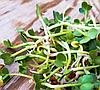 РЕДИС Микрозелень, семена зерна редиса органические для проращивания 50 грамм