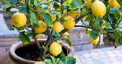 Правила, как выращивать лимон в домашних условиях с хорошим плодоношением