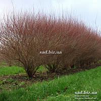 Ива пурпурная 'Nana' в горшке 9х9х10см