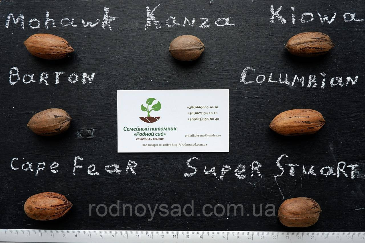 """Пекан (10 штук) сорт """"Super Stuart"""" семена орех кария для выращивания саженцев (горіх насіння на саджанці)"""