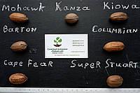 """Пекан (10 штук) сорт """"Barton""""  семена орех кария для саженцев (горіх насіння на саджанці) Carya illinoinensis"""