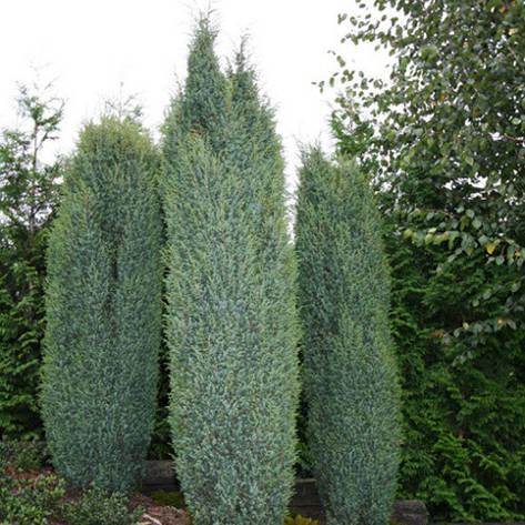 Ялівець звичайний Suecica 4 річний 0,4-0,5м, Можжевельник обыкновенный Суецика, Juniperus communis Suecica, фото 2