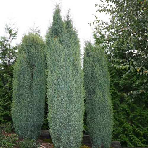 Ялівець звичайний Suecica 4 річний 0,4-0,5м, Можжевельник обыкновенный Суецика, Juniperus communis Suecica