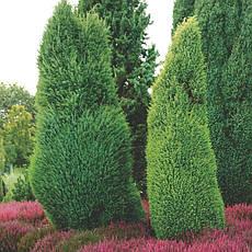 Ялівець звичайний Suecica 4 річний 0,4-0,5м, Можжевельник обыкновенный Суецика, Juniperus communis Suecica, фото 3