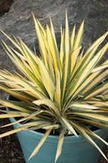 Юкка нитчата Color Guard 2 річна , Юкка нитчатая Колор Гуард, Yucca filamentosa Color Guard, фото 3