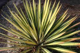 Юкка нитчата Color Guard 2 річна , Юкка нитчатая Колор Гуард, Yucca filamentosa Color Guard