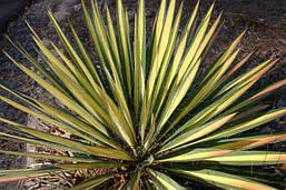 Юкка нитчата Color Guard 2 річна , Юкка нитчатая Колор Гуард, Yucca filamentosa Color Guard, фото 2