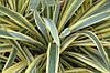 Юкка нитчата Bright Edge 2 річна , Юкка нитчатая Брайт Ейдж, Yucca filamentosa Bright Edge, фото 3