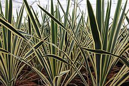 Юкка нитчата Bright Edge 2 річна , Юкка нитчатая Брайт Ейдж, Yucca filamentosa Bright Edge, фото 2