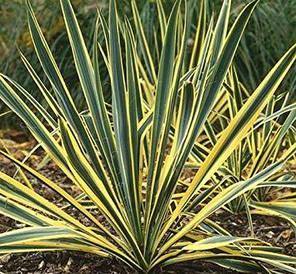 Юкка нитчата Bright Edge 2 річна , Юкка нитчатая Брайт Ейдж, Yucca filamentosa Bright Edge