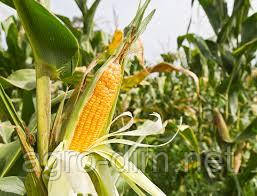Семена кукурузы НС-2014