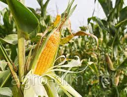 Семена кукурузы НС-2014, фото 2