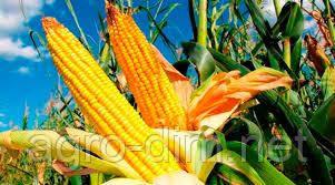 Семена кукурузы НС-444, фото 2