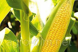 Семена кукурузы НС-2040, фото 2