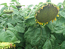 Насіння соняшнику під ЕвроЛайтинг ОСМАН, Високоврожайний соняшник. Стійкий до вовчка та посухи. Екстра
