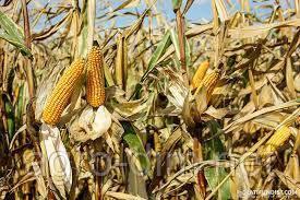 Семена кукурузы Аттракт (ФАО 230)