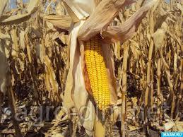 "Семена кукурузы Здобуток от ""МАИС"", фото 2"