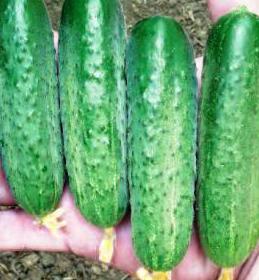 Семена огурца Стингер F1, Lark Seeds 100 семян | профессиональные