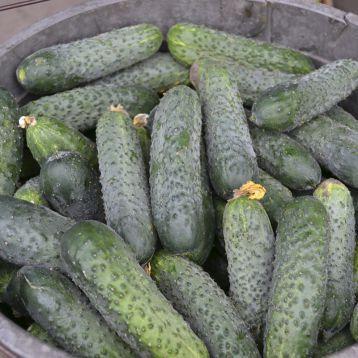 Семена огурца Убеда F1, 1000 семян, Lark Seeds