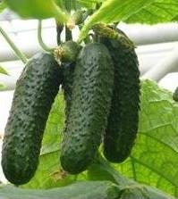 Семена огурца ЗКИ-104 F1, 1000 семян, ZKI