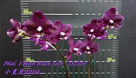 """Орхидея, размер 2.5"""", С ЦВЕТОНОСОМ. Сорт Phal. I-Hsin Black Soot """"IS1224"""""""