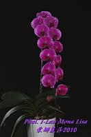 """Орхидея фаленопсис, размер 2.5"""", без цветов. Сорт Phal. I-Lan Mona lisa"""
