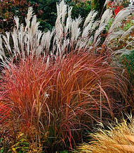 "Miscanthus sinensis ""Little Miss"""