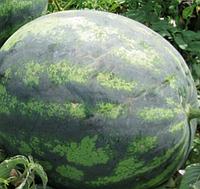 Семена арбуза ранний гибрид Зенго F1, семена арбузов для фермерских хозяйств профпакет 1000 семян, Lark Seeds