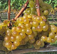 Саджанці винограду ШАРДОНЕ пізнього строку дозрівання