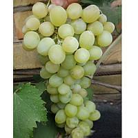 Саженцы винограда ХЕЛИКОН МУСКАТЕЛЬ среднего срока созревания
