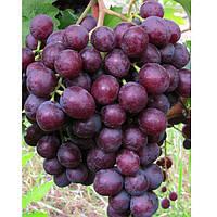 Саджанці винограду МУСКАТ НОВОШАХТИНСЬКИЙ