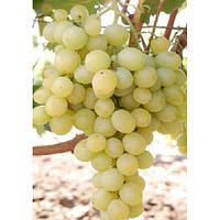 Саджанці винограду МУСКАТ ІТАЛІЇ пізнього строку дозрівання
