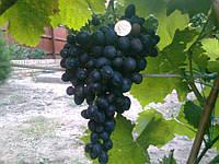 Саджанці винограду ЛІТО ЧОРНЕ середнього терміну дозрівання