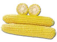 1010 F1 - семена сладкой кукурузы, Lark Seeds 25 000 семян, фото 1