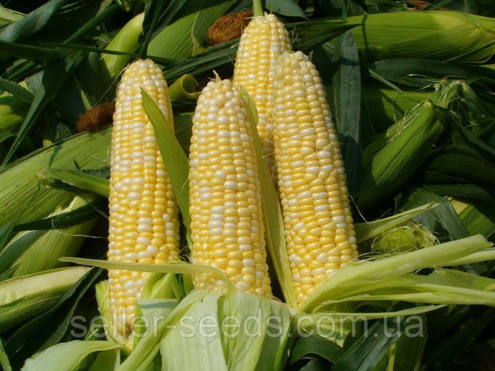 Семена кукурузы Гран 310 ФАО 250