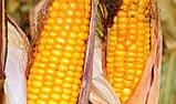 Семена кукурузы Гран 310 ФАО 250, фото 3