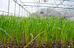 Правила выращивания отличного урожая: как поливать лук