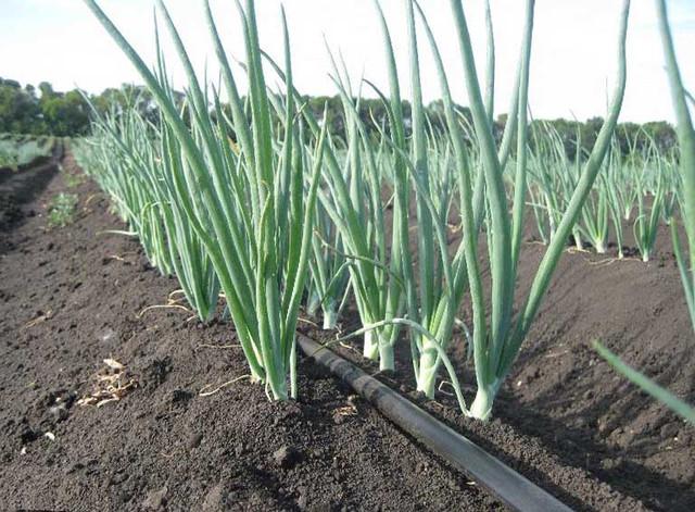 Выращивание лука