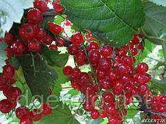 Саджанці червоної смородини Ролан - ранній сорт