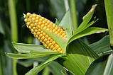 Семена кукурузы ВН 6763 ФАО 320, фото 3