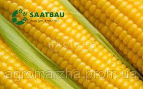 Семена кукурузы Данубио (ЗААТБАУ)