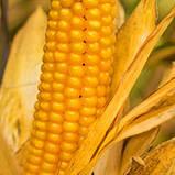 Насіння Кукурудзи ВН 63 ф2. (ФАО 280), ВНІС, фото 4