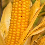 Семена Кукурузы ВН 63 ф2.  (ФАО 280), ВНИС, фото 4